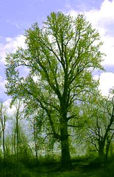 National Champion Black Cottonwood Tree, Willamette Mission State Park