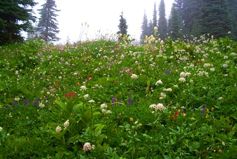 Eunice Lake Flower Meadow, Tolmie Peak, Mount Rainier National Park