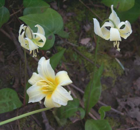 White Fawn-lily (Erythronium oregonum), West Salem, Oregon